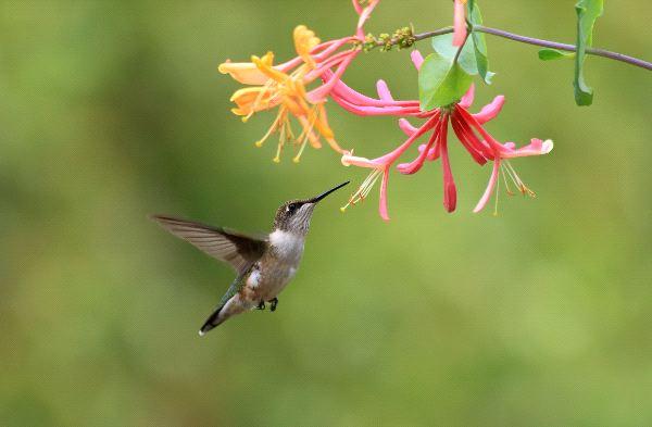 Healing Flower Lonicera